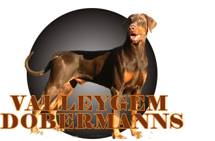 valleygem dobermanns